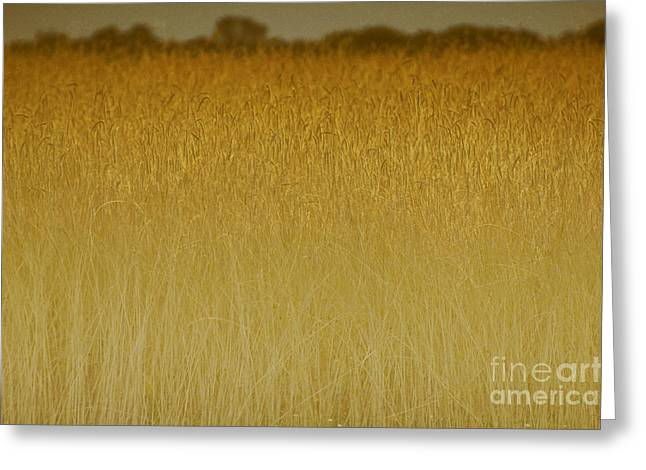 North Fork Greeting Cards - Fields of Gold nature abstract - Long Island NY Greeting Card by Anahi DeCanio
