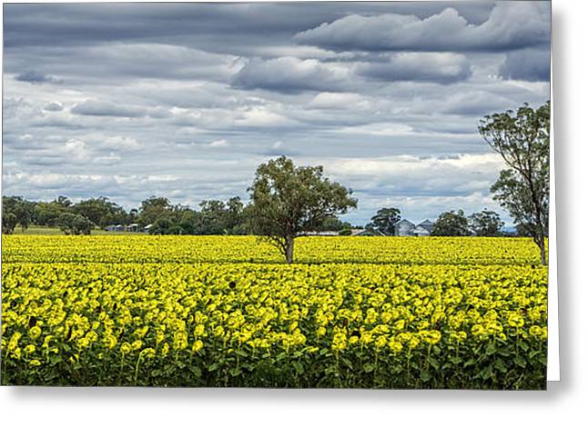 Yellow Sunflower Greeting Cards - Fields of Gold Greeting Card by Paul and Helen Woodford
