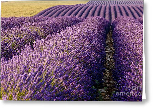 Fields Of Lavender Greeting Card by Brian Jannsen