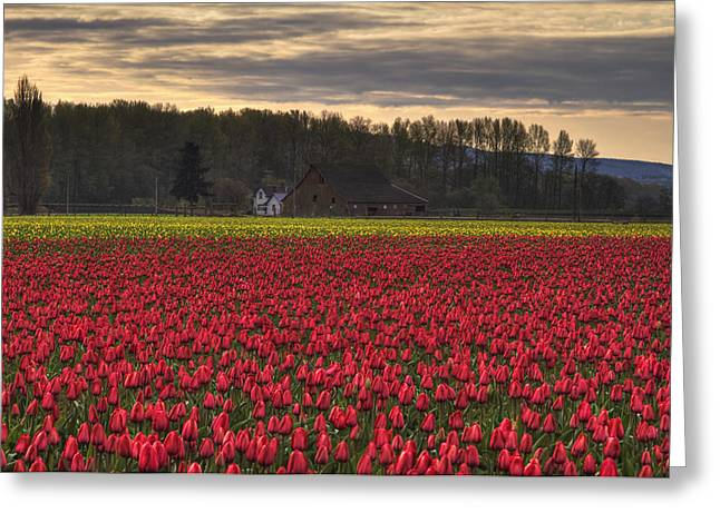 Tulip Fields Greeting Cards - Fields of Tulips Greeting Card by Mark Kiver