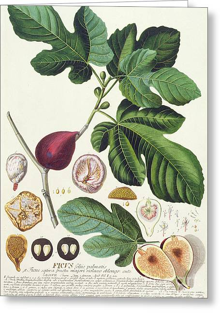In Bloom Greeting Cards - Fig engraved by Johann Jakob Haid  Greeting Card by German School