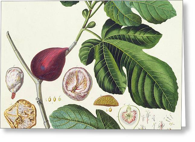 Fig engraved by Johann Jakob Haid  Greeting Card by German School