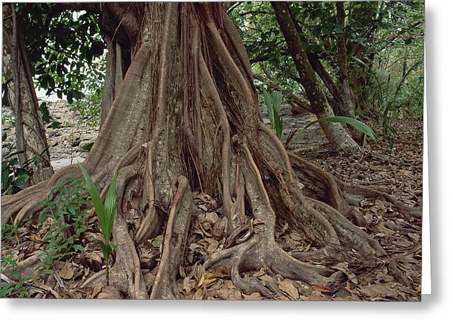 Strangler Fig Greeting Cards - Fig In Tropical Rainforest Costa Rica Greeting Card by Gerry Ellis