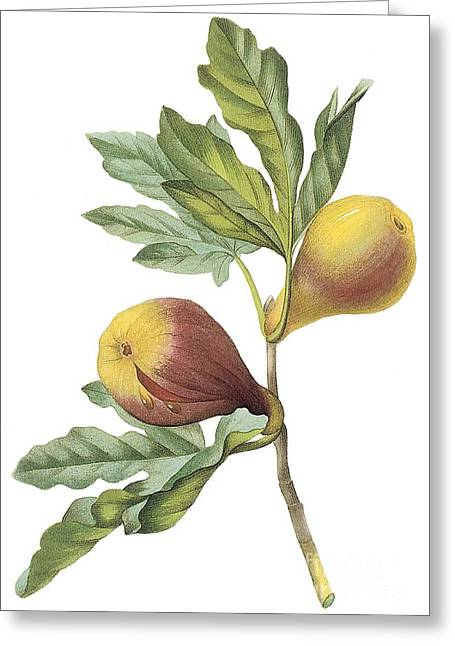 Figs Drawings Greeting Cards - Fig Greeting Card by Spencer McKain