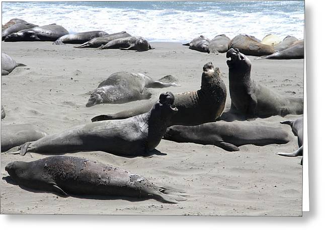 Elephant Seals Greeting Cards - Fighting Elephant Seals  Greeting Card by Christiane Schulze Art And Photography
