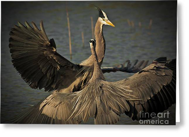 Fighting Great Blue Herons Greeting Card by Robert Frederick