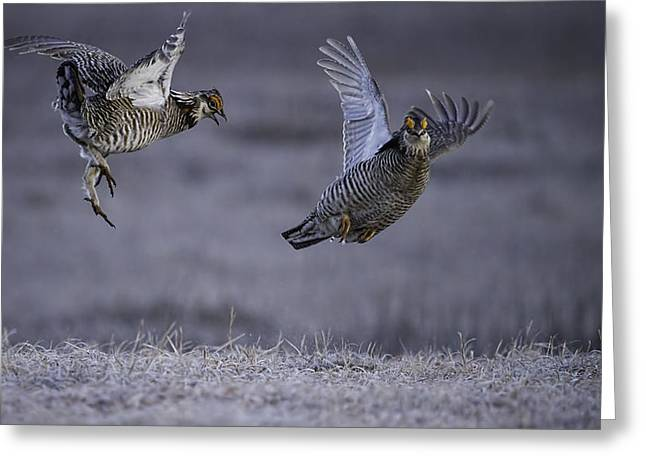 Prairie Chicken Greeting Cards - Fighting Prairie Chickens Greeting Card by Thomas Young