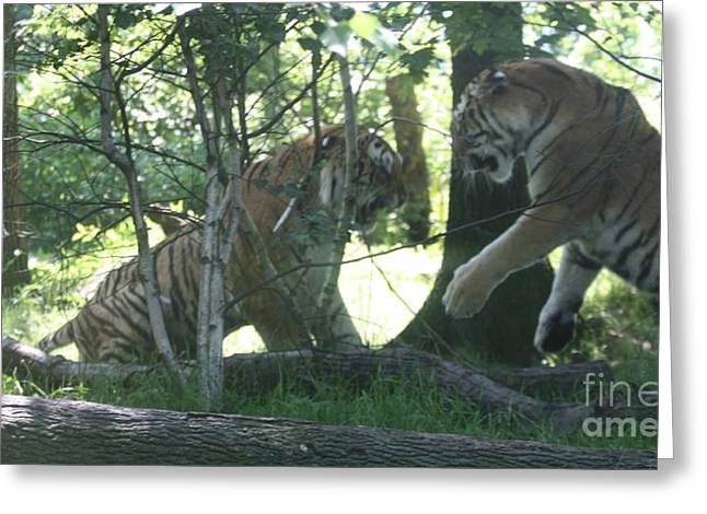 The Tiger Greeting Cards - Fighting Siberian Tigers Greeting Card by John Telfer