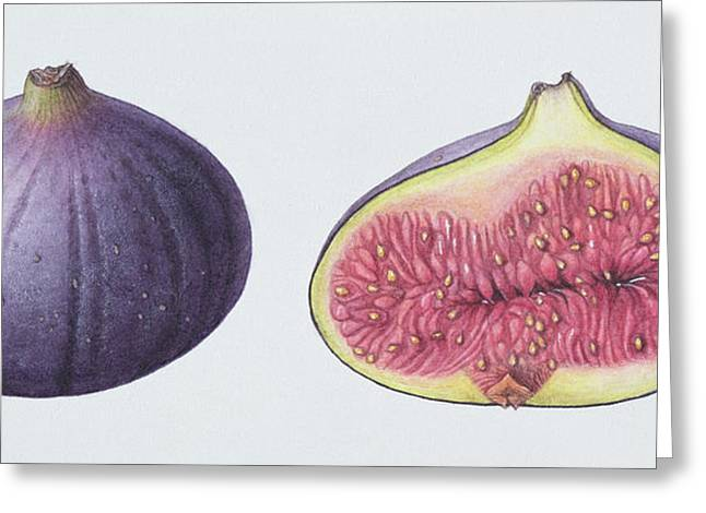 Fig Greeting Cards - Figs, 1995 Wc On Paper Greeting Card by Margaret Ann Eden