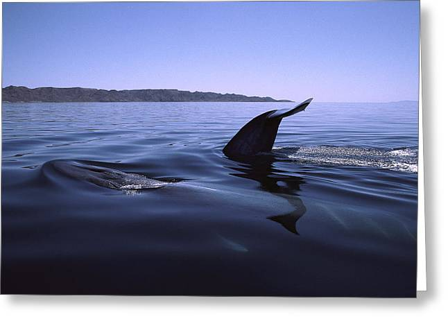 Razorbacks Photographs Greeting Cards - Fin Whale Pair Surfacing Sea Of Cortez Greeting Card by Flip Nicklin