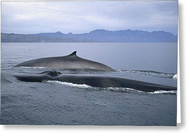 Razorbacks Photographs Greeting Cards - Fin Whale Sea Of Cortez Baja California Greeting Card by Tui De Roy
