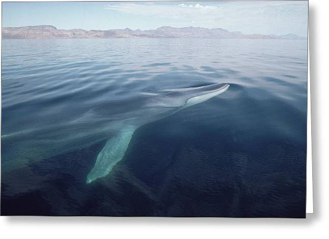 Razorbacks Photographs Greeting Cards - Fin Whale Surfacing Baja California Greeting Card by Flip Nicklin