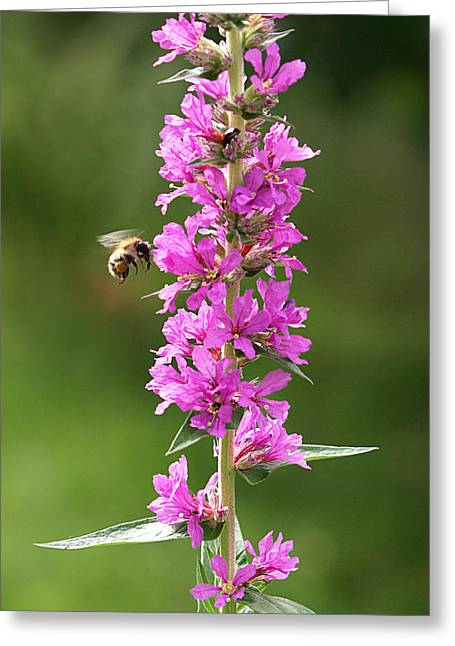 Pinks And Purple Petals Photographs Greeting Cards - Final Approach - Bee on Purple Loosestrife Greeting Card by Gill Billington