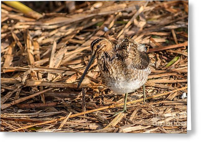 Winter Migrants Greeting Cards - Finally Found That Snipe Greeting Card by Debra Martz