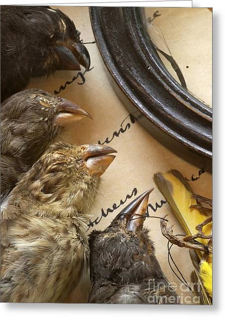 John Gould Greeting Cards - Finch Specimens, Charles Darwin Greeting Card by Paul D. Stewart