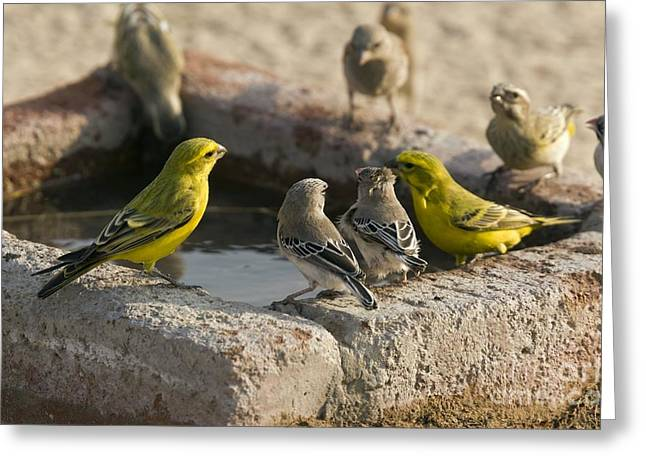 Canary Greeting Cards - Finches Feeding At A Waterbath Greeting Card by Bob Gibbons