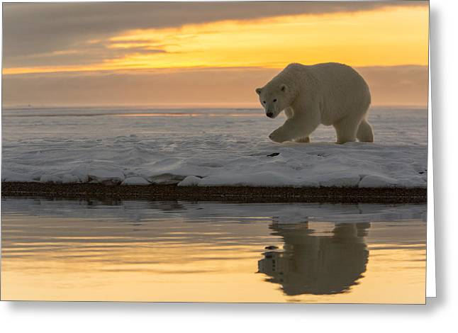 Polar Bear Standing Greeting Cards - Finding a Reflection Greeting Card by Tim Grams