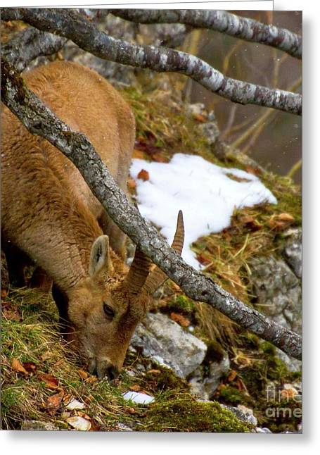Grazing Snow Greeting Cards - Finding Spring Shoots Greeting Card by Charles Lupica