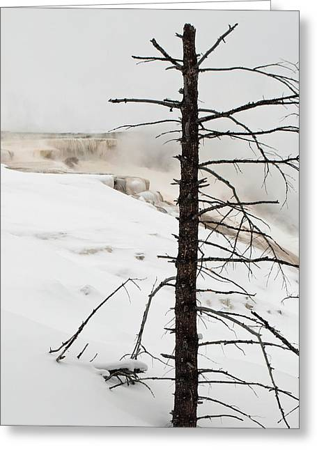 Mammoth Terrace Greeting Cards - Fine Place for a Dead Tree Greeting Card by Bruce Gourley