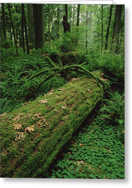 Pinaceae Greeting Cards - Fir Nurse Log In Rainforest Pacific Greeting Card by Gerry Ellis