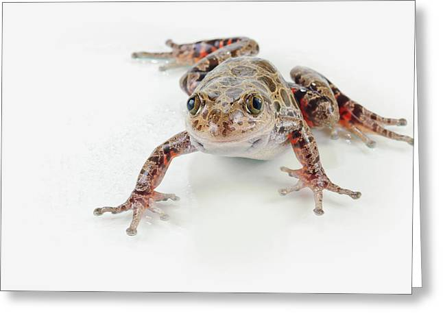 Full-length Portrait Greeting Cards - Fire-leg Walking Frog Kassina Maculosa Greeting Card by Corey Hochachka