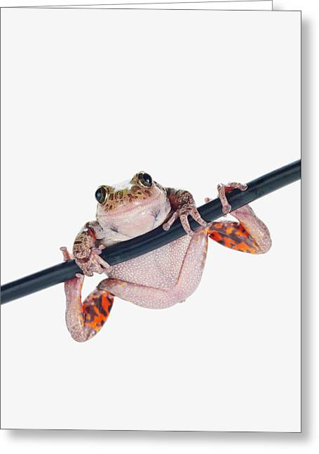 Close To People Greeting Cards - Fire-leg Walking Frog On White Greeting Card by Corey Hochachka