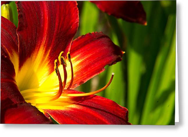 Tendrils Greeting Cards - Fire Lily Greeting Card by Douglas Barnett