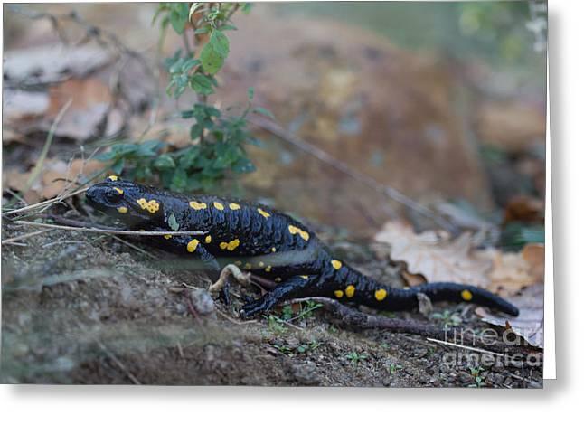 Fire Salamander Greeting Cards - Fire Salamander - Salamandra salamandra Greeting Card by Jivko Nakev