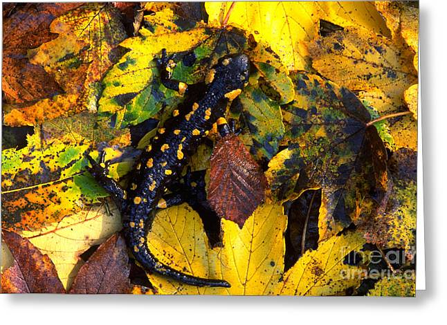 Fire Salamander Greeting Cards - Fire Salamander Greeting Card by Art Wolfe