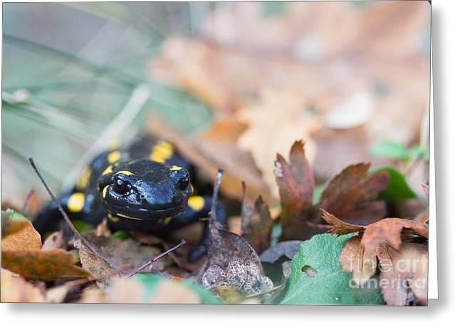 Fire Salamander Greeting Cards - Fire Salamander Dry Leaves Greeting Card by Jivko Nakev