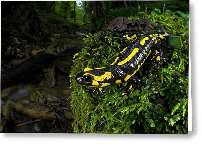 Fire Salamander (salamandra Salamandra Greeting Card by Andres Morya Hinojosa
