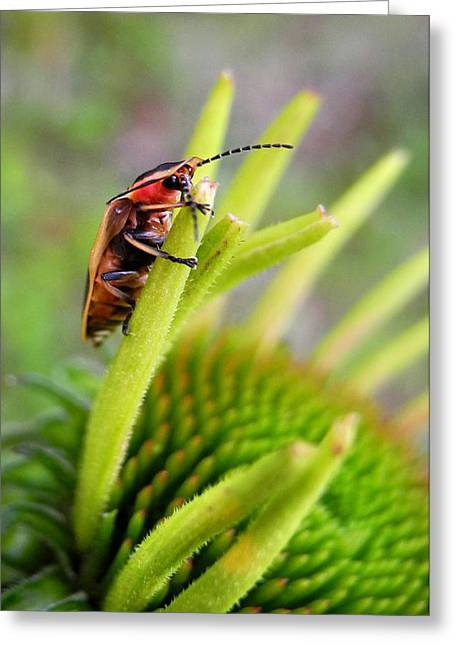 Firefly Lightning Bug Grabs A Snack Before Work Greeting Card by Christina Rollo