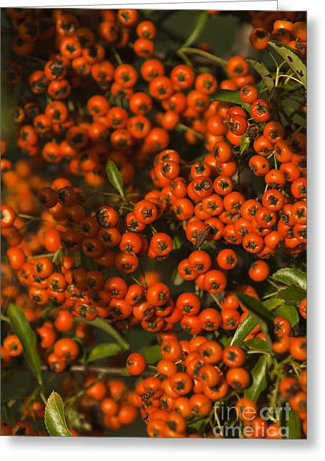 Berry Greeting Cards - Firethorn Pyracantha Greeting Card by Dan Radi