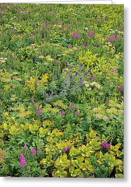 False Hellebore Greeting Cards - Fireweed Flowering San Juan Mts Colorado Greeting Card by Tim Fitzharris