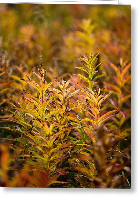 Kodiak Island Greeting Cards - Fireweed With Autumn Colors, Kodiak Greeting Card by Kevin Smith