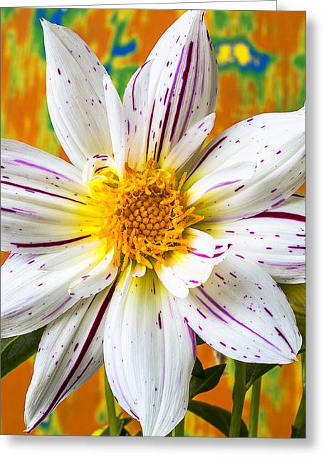 Fireworks Greeting Cards - Fireworks Dahlia white and pink Greeting Card by Garry Gay