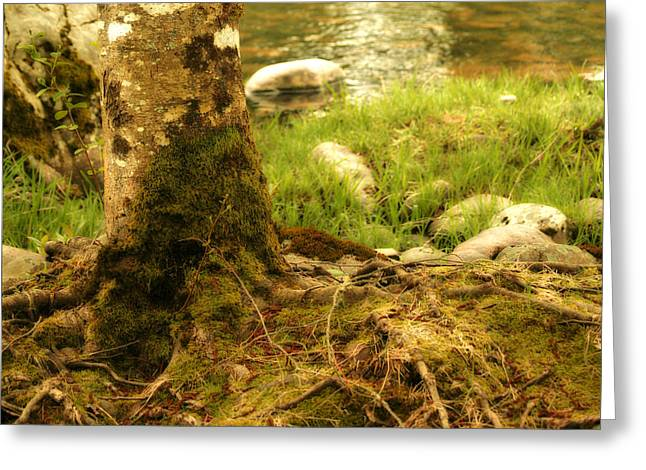 Tree Roots Greeting Cards - Firmly Rooted Greeting Card by Bonnie Bruno