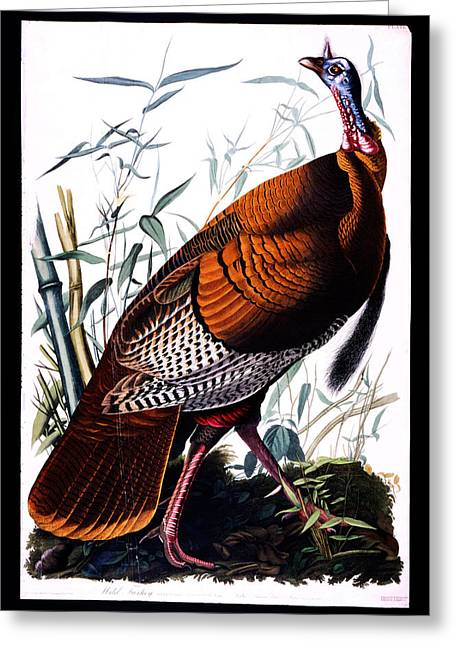 Shell Texture Greeting Cards - First American West  The Ohio River Valley 1750 1820 wild male Turkey Greeting Card by MotionAge Designs