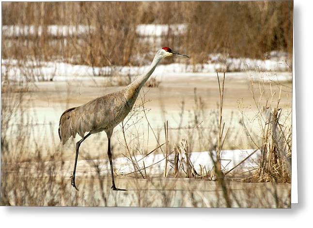 Sandhill Cranes Greeting Cards - First Crane Greeting Card by Thomas Young