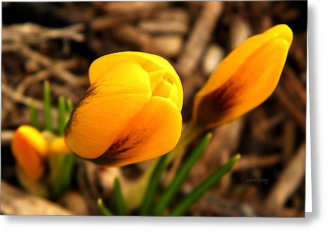 Springy Greeting Cards - First Crocus  Greeting Card by Chris Berry