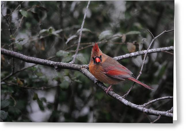 Red Bird In Snow Greeting Cards - First Day of Snow Greeting Card by Jai Johnson