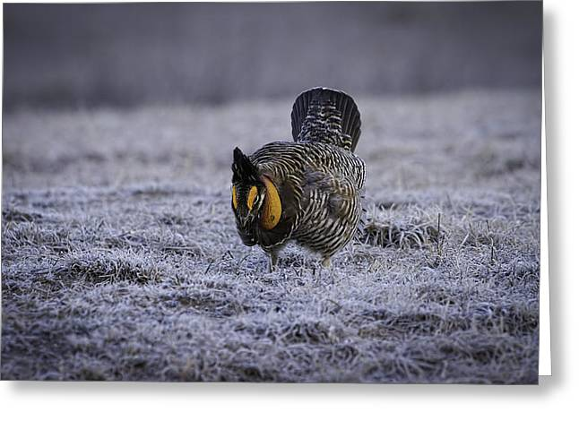 Prairie Chicken Greeting Cards - First Light 4 Greeting Card by Thomas Young