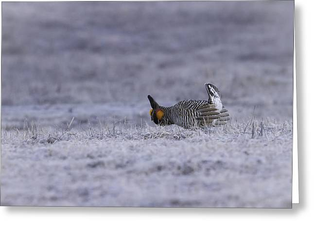 Prairie Chickens Greeting Cards - First Light Greeting Card by Thomas Young