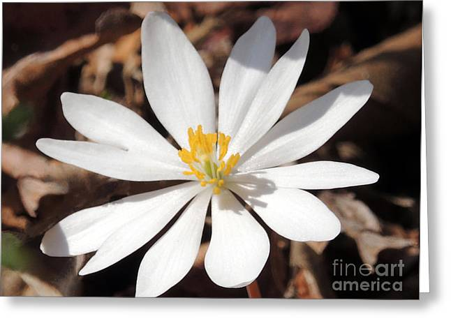 Bloodroot Greeting Cards - First Sign of Spring Greeting Card by Lydia Holly