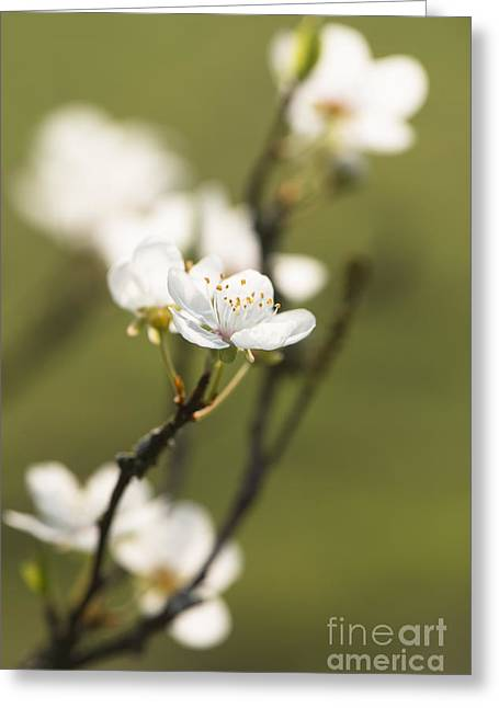 Close Focus Floral Greeting Cards - First Signs of Spring Greeting Card by Anne Gilbert