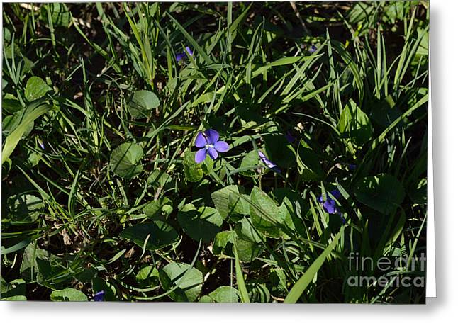 Indiana Flowers Greeting Cards - First Violets of Spring Greeting Card by Alys Caviness-Gober