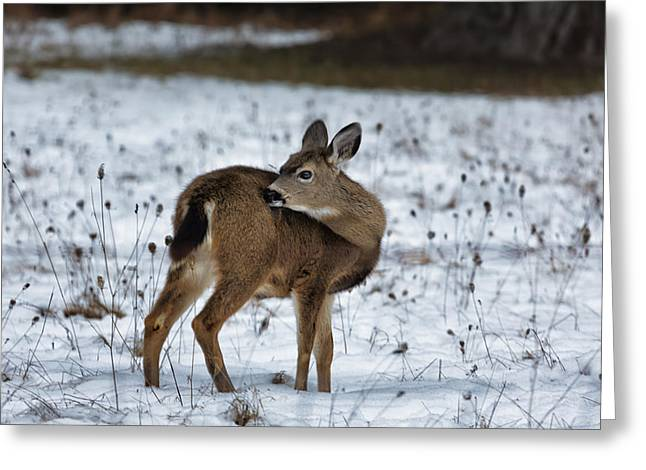 Grazing Snow Greeting Cards - First Winter Greeting Card by Belinda Greb