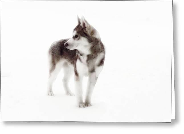 Huskies Greeting Cards - First Winter Greeting Card by Iconic Images Art Gallery David Pucciarelli