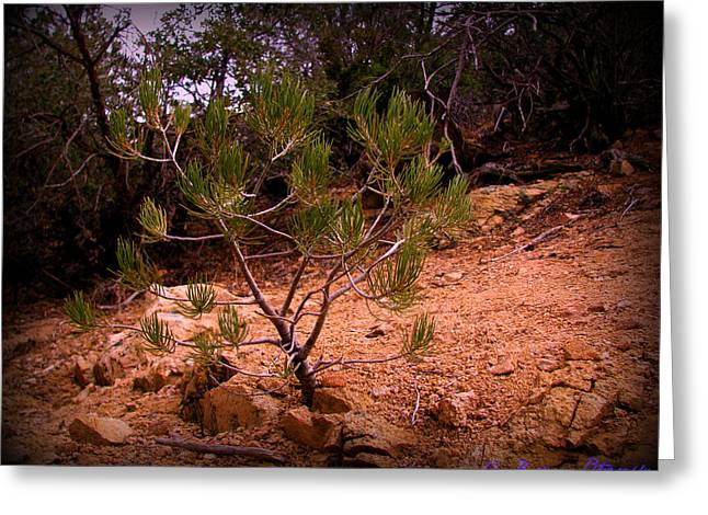 Prescott Greeting Cards - First Years of a Ponderosa Pines Life Greeting Card by Aaron Burrows