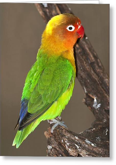 Coloured Plumage Greeting Cards - Fischers lovebird Greeting Card by Science Photo Library